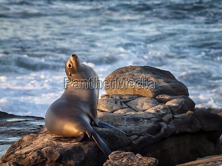 usa california la jolla sea lion