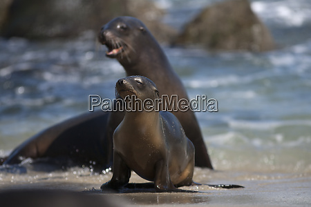 usa california la jolla sea lions