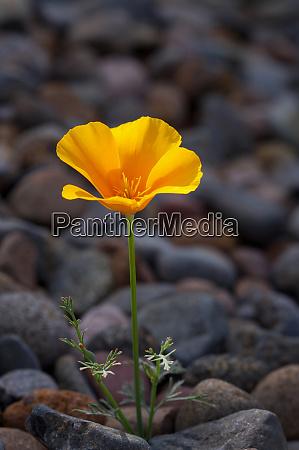 usa california poppy wildflower and rocks