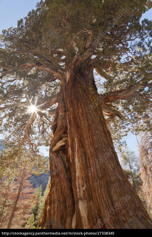 usa, kalifornia, inyo, national, forest., starożytne, drzewo, jałowca - 27338340