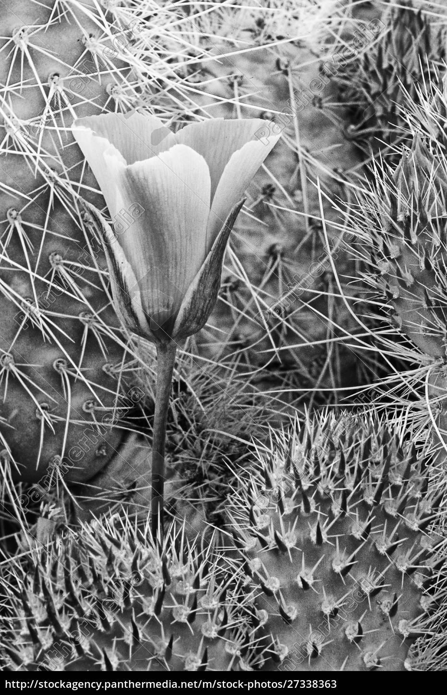 usa, kalifornia, park, narodowy, doliny, śmierci., mariposa, tulipan - 27338363