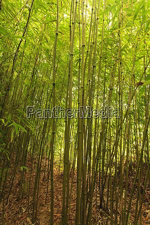 bamboo forest near waikamoi ridge trail