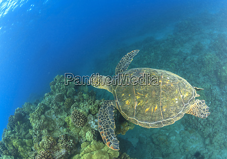 green sea turtle cleaning station near