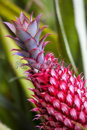 usa hawaii maui pineapple bromeliad growing