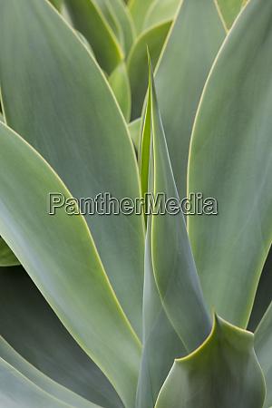 usa hawaii maui agave plant with