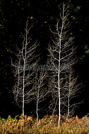 denuded aspens white river area wenatchee