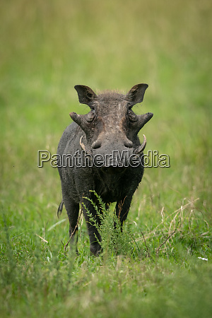 common warthog stands in grass watching