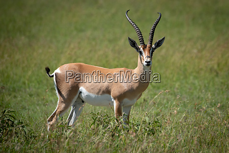 grant gazelle stands eyeing camera in