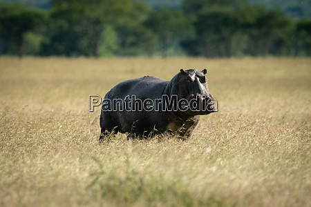 hippo stands in long grass watching
