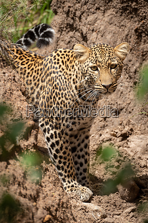 leopard stands in dry gully watching