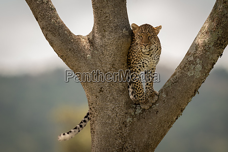 leopard stands in tree fork watching