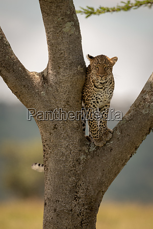 leopard stands on tree fork watching