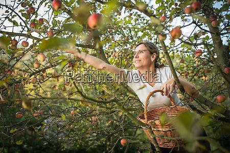 kobieta w srednim wieku zbieranie jablek