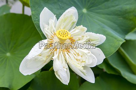 lotus blossom flower vietnam asia