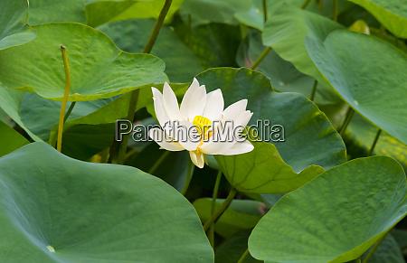 kwiat, lotosu, chiny - 27698332