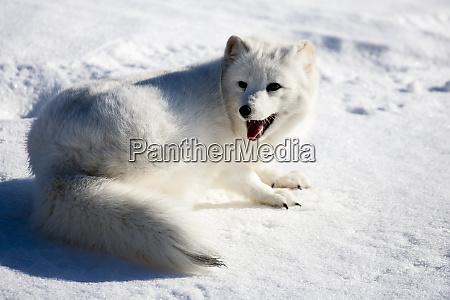 usa minnesota sandstone arctic fox