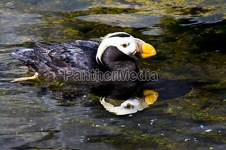 puffin swimming oregon coast aquarium newport