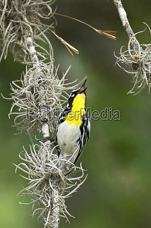 usa texas hill country male yellow
