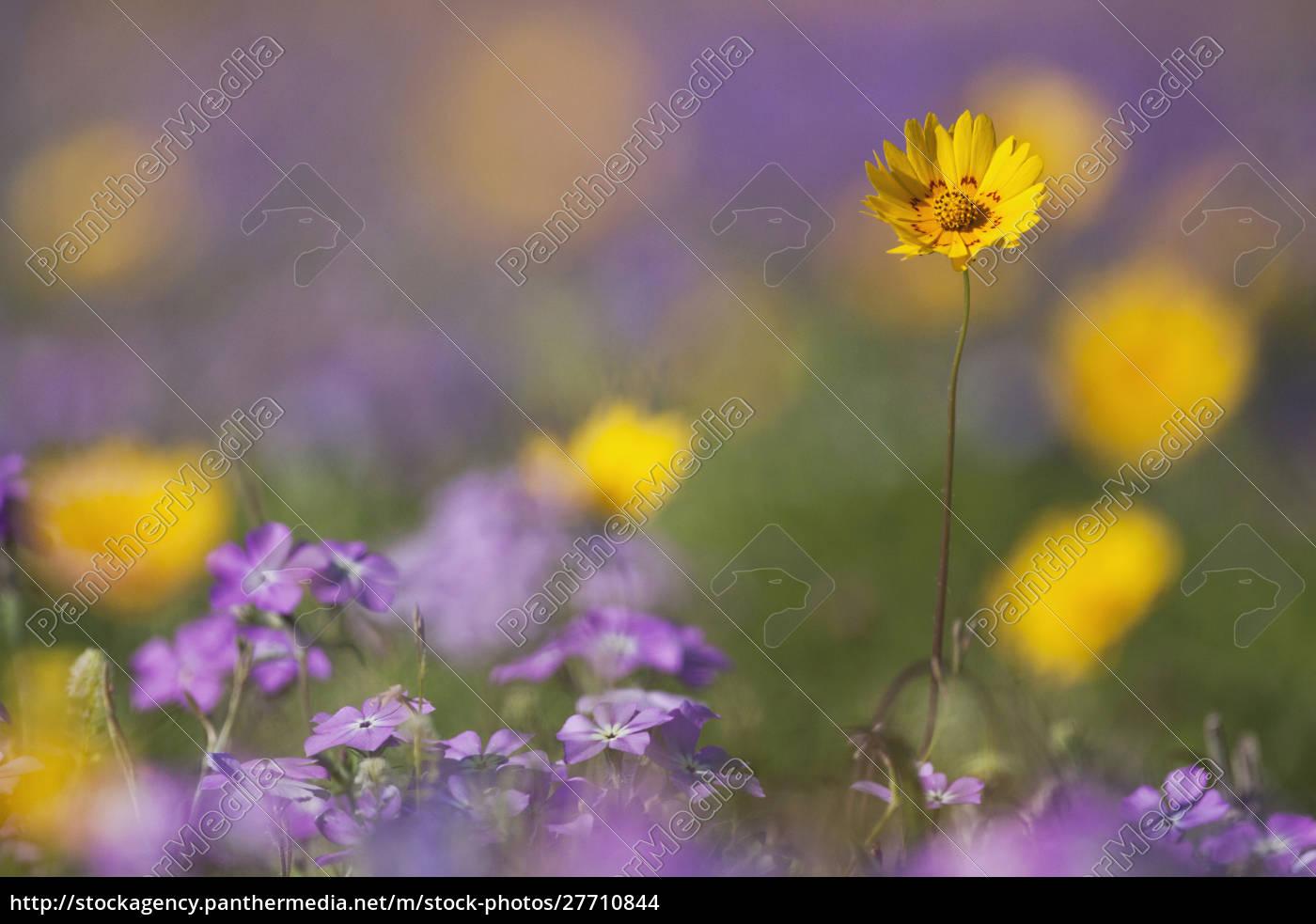 roadside, kwiaty, w, teksasie, wiosna - 27710844