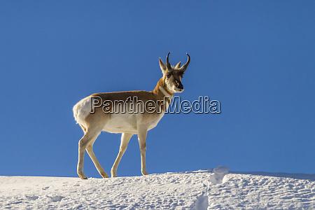 usa wyoming paradise valley pronghorn antelope