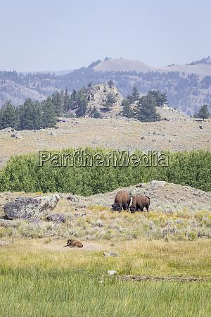 usa wyoming yellowstone national park buffalos