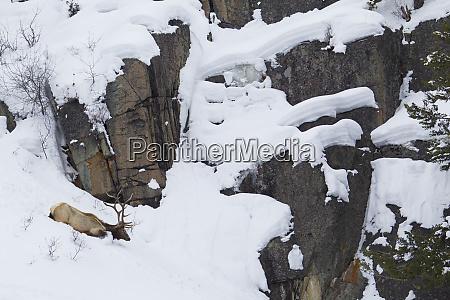 rocky mountain bull elk winter