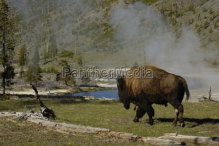 american bison bison bison yellowstone national