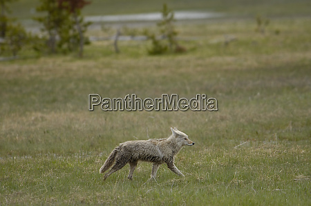 coyote canis latrans yellowstone national park