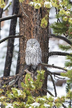 great gray owl strix nebulosa in