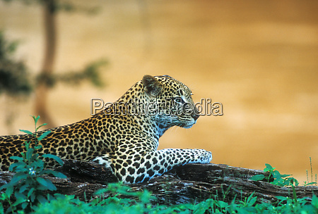 a leopard panthera pardus laying on