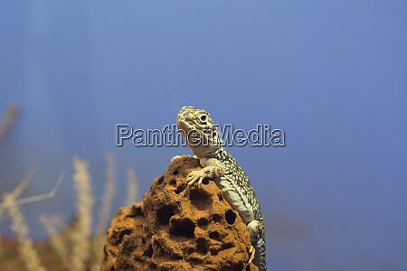 australia alice springs central netted dragon