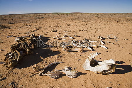 skeleton oodnadatta track outback south australia