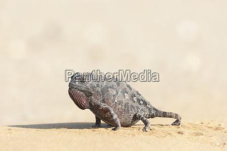 afryka, namibia, swakopmund, namaqua, chameleon, chamaeleo, namaquensis., namaqua, kameleon, spaceru - 27746001