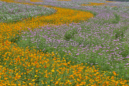 commercially grown cosmos flowers in beautiful