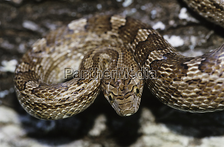 bullsnake pituophis catenifer sayi adult willacy