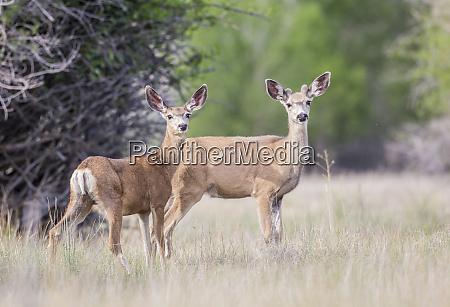 usa wyoming lincoln county mule deer