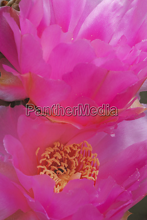 beavertail prickly pear cactus flower phoenix