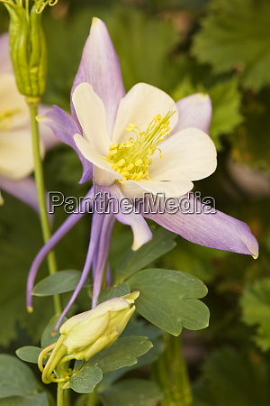 columbine flower arizona