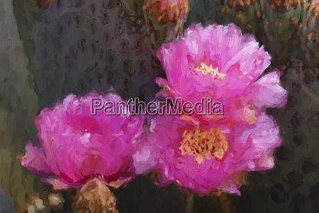 efekt, malowania, na, beavertail, kaktus, kwiat - 27814696