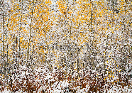 usa wyoming autumn aspen trees and