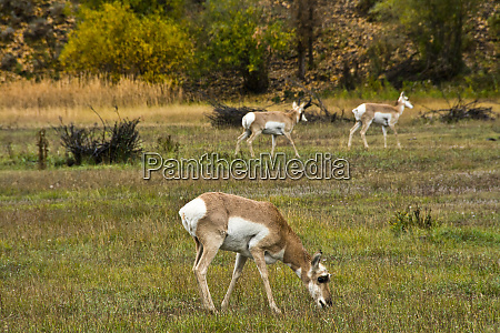 female pronghorns antelope flats grand teton