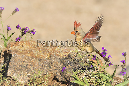 usa arizona amado female cardinal with