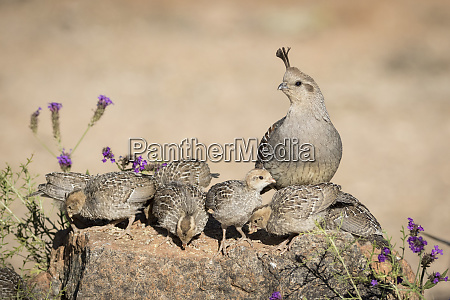 usa arizona amado female gambels quail