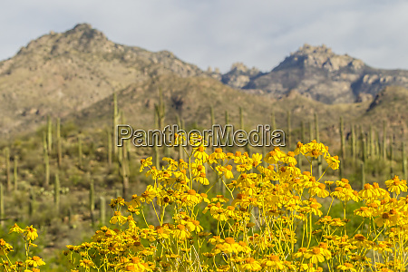 usa arizona sabino canyon brittlebush blossoms