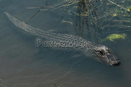 american alligator alligator mississippiensis little st