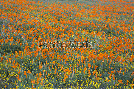 usa california mojave desert california poppy