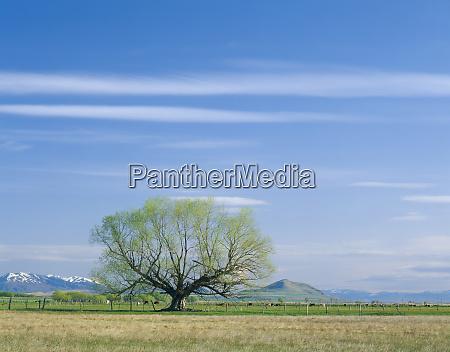 utah usa willow tree and cirrus
