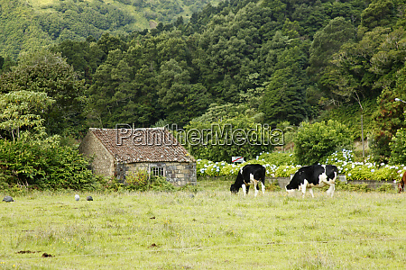 portugalia azory krowy na farmie na