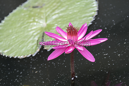 tropical night flowering waterlily stany zjednoczone