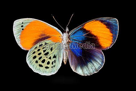 tropical butterfly callithea sapphira porownanie zenskiego